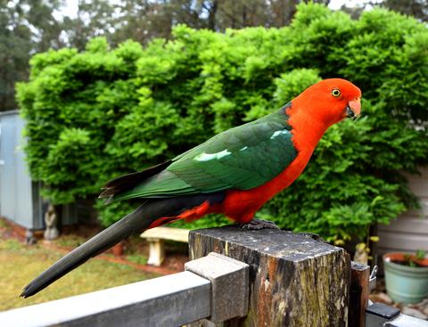 Male King Parrot sitting on a fence Photo