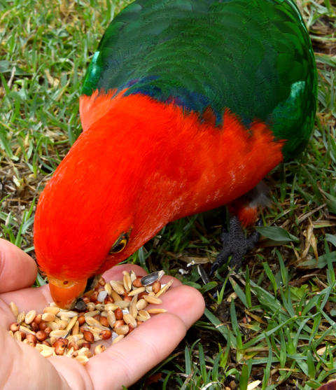 Hand feeding seeds to a male King Parrot Photo