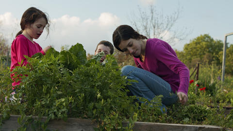 Children in an organic vegetable farm weeding and watering plants and vegetables Live Action