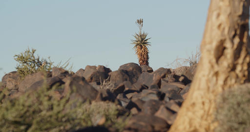 Footage of the flora of Quiver Tree Forest in southern Namibia, 4k Live Action
