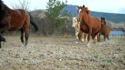 Mixed horses herd is following dark brown horse with black mane by dusty road between meadows. Brown Live Action