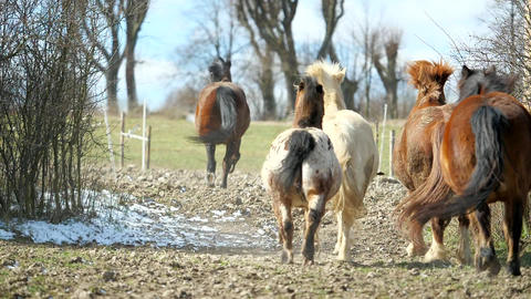 Mixed horse herd with brown horses and white and mottled pony galloping through a narrow spot Acción en vivo