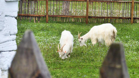 Furry goats eating green grass Live Action