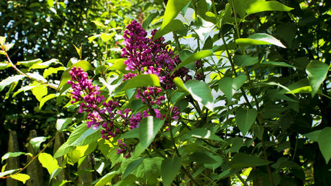 Blossoming branches on lilac bush Live Action
