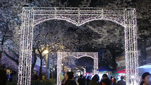 cherry blossoms festival-12videos Footage