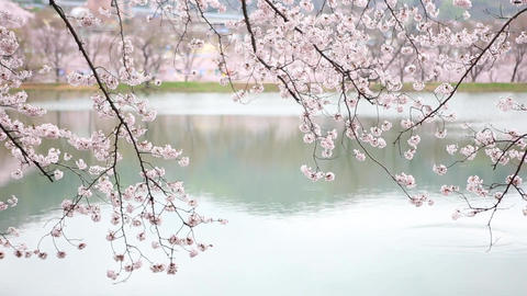 cherry blossoms 12videos Footage