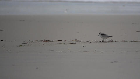 Sand pipers run along wet sand Footage