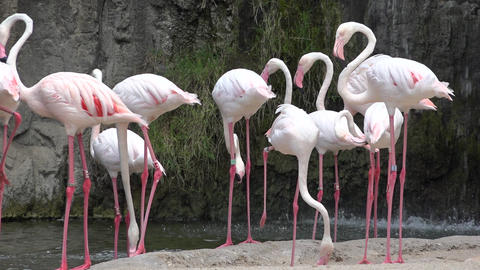 Pink Flamingos In Wild Footage