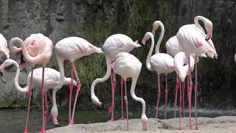 Pink Flamingos Or Wading Birds Footage