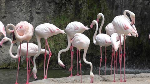 Pink Flamingos Or Wading Birds Footage