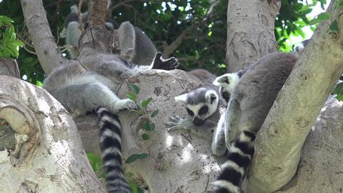 Lemur Wild Animals In Tree Live Action