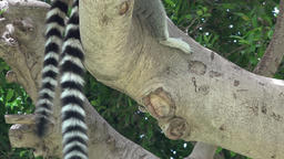 Lemur Or Racoon Striped Tails Stock Video Footage