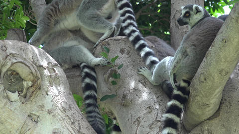 Tree With Wild Lemurs Footage