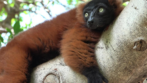 Lemur Resting In Tree Live Action