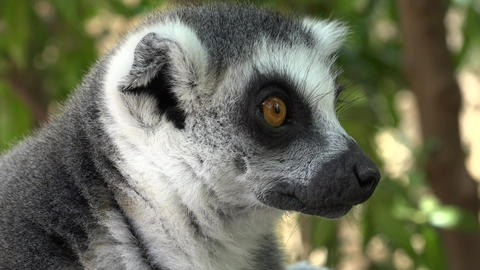 Lemurs An Adorable Cute Animal Footage
