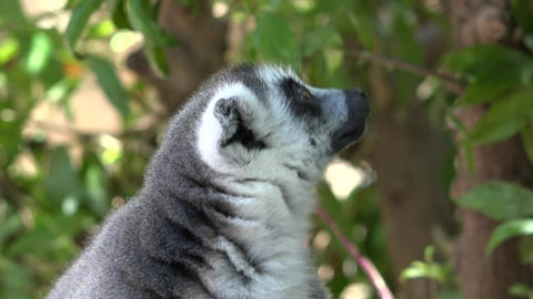 Lemur An Animal Looking And Staring Live Action