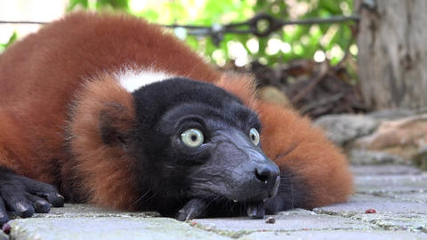 Lemurs Animals And Wildlife Footage