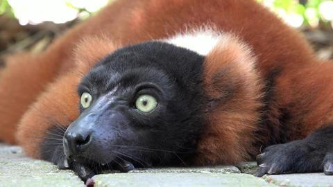 Adorable Lemur Or Wildlife Live Action