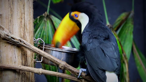 Beautiful Toco Toucan Eating Footage