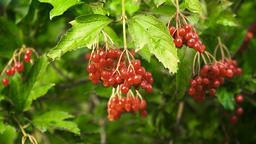 Branch of viburnum berries Footage