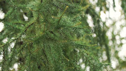 Rain drops on the branch of spruce.Close up Footage