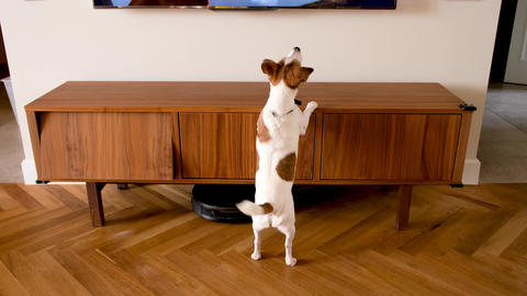 Cute dog exploring cozy room cabinet Live Action