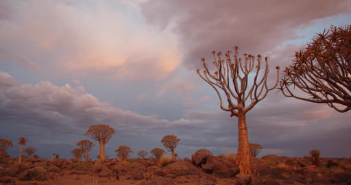 Sunset at the Quiver Tree Forest of Namibia, beautiful trees and the sky, 4k Live Action