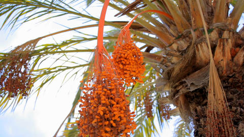 Date palm with orange fruits. Spain Tenerife Live Action