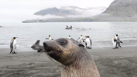 Fur Seal playing on the beach in South Georgia Live Action