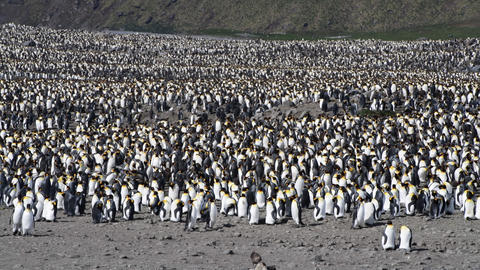 King Penguins colony in South Georgia Live Action