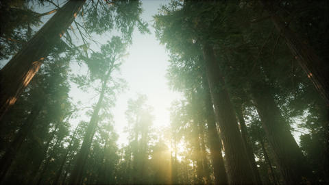 Redwood Forest Foggy Sunset Scenery Live Action