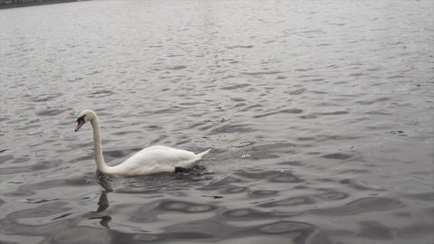 Close Up of Swan in Dirty water diving head under water City Live Action