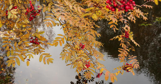 Slow motion video of branches with berries of a red mountain ash over water Live Action