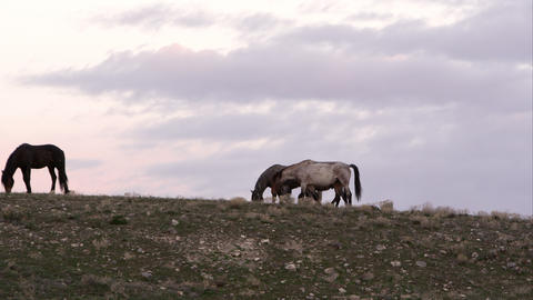Wild horses grazing along the horizon at the top of a hill Live Action