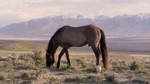View of wild horse on the horizon with snow capped mountains in the distance Live Action