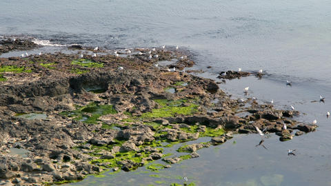Mossy seashore and waves, white waterfowl over sea. Tranquil scene sea nature on the white birds. Live Action