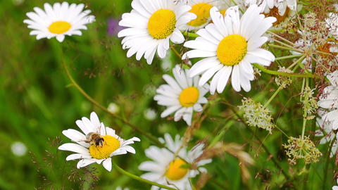Bee Pollinating Chamomile Footage