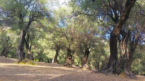 Landscape with Olive Trees Footage