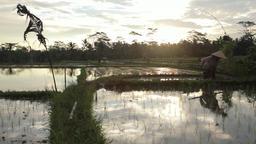 Ubud Bali Farmer Work In Rice Field