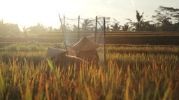 Farmers in Indonesia cutting and threshing rice in the rice fields during harves Footage