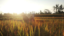 Ubud Bali Farmer Work In Rice Field 2