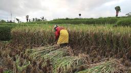 Ubud Bali Farmer Harvesting Threshing Rice