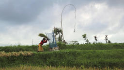 Balinese farmer threshing rice in the rice fields Footage