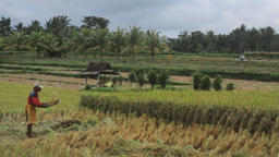 Ubud Bali Farmer Harvesting Threshing Rice 1