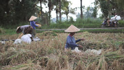 Women cutting and sifting rice in the fields while moped passes by in Ubud, Bali Footage