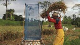 Ubud Bali Farmer Harvesting Threshing Rice 2