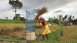 Balinese farmer threshing rice by hand in fields of Ubud, Bali during harvest se Footage