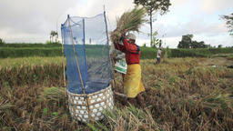 Two balinese farmers threshing rice by hand in fields of Ubud, Bali during harve Footage