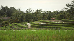 Balinese farmer ploughing the wet rice terrace field near Ubud Bali Footage