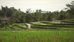Balinese farmer ploughing the wet rice terrace field near Ubud Bali Footage